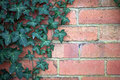 Brick wall with vine green leafy overhanging Royalty Free Stock Photos