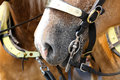 Bridle bit closeup of a draft horses mouth with the Stock Photography