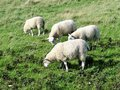 Bridlington to flamborough head coastal path sheep grazing walking along Royalty Free Stock Images