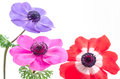 Bright anemone flowers Royalty Free Stock Photo