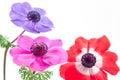 Bright anemone flowers Royalty Free Stock Photo