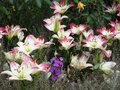 Bright attractive pink Lily flowerbed 2020 Royalty Free Stock Photo