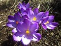 Bright attractive sweet light color Whitewell Purple Crocus flower blooming in mid-spring in a garden 2019 Royalty Free Stock Photo