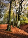 Bright autumn colours in a forest with fallen red leaves and tall trees. Royalty Free Stock Photo