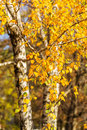 Bright autumn foliage of a birch tree close up Stock Images