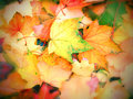 Bright autumn leaves Royalty Free Stock Photos