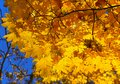 Bright autumn maple foliage branch with golden of on blue sky Stock Photo
