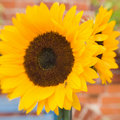 Bright beautiful sunflowers Stock Photo