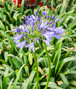 Bright Blue Agapanthus Africanus