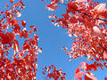 Bright blue autumn sky and tree branches Royalty Free Stock Photography