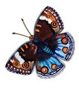 Bright blue-and-brown butterfly with orange eyes 8 Royalty Free Stock Photo