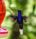 Bright blue hummingbird hovering in monteverde biological reserve costa rica near a feeder Stock Image