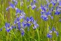 Bright Blue Iris Flowers