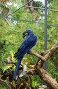 Bright blue parrot on a branch Royalty Free Stock Photo