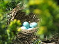 Bright blue Robin eggs in a hidden nest Royalty Free Stock Photo