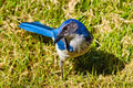 Bright Blue Scrub Jay Royalty Free Stock Images