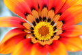 Bright and bold daisy broght flower macro photography Stock Images