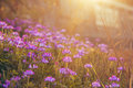 Bright bright milk vetch bloom in the spring season colourful light irradiation the beautiful ecological environment Stock Image