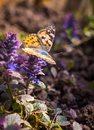Bright butterfly and spring blossoming cornflowers Royalty Free Stock Photo