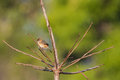 Bright-capped Golden-headed Cisticola bird in golden orange perching on dry branch