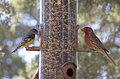 Bright cheerful yard birds on feeder american goldfinch and house finch bird Stock Photography