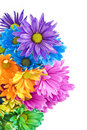 Bright Colored Daisies White Background Stock Photos