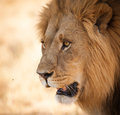 Bright eyes Lion close up in Africa Royalty Free Stock Photo