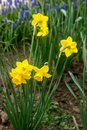 Bright flowering daffodils and a border of muscari in a flower garden. Royalty Free Stock Photo