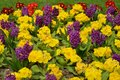 Bright flowers in flowerbed mauve red and yellowflowers Royalty Free Stock Photography