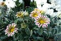 Bright flowers of Gazania rigens `Big Kiss White Flame` in October Royalty Free Stock Photo