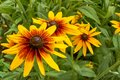 Bright flowers of  rudbeckia  in summer garden. Bright natural background Royalty Free Stock Photo