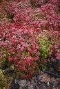 Dwarf nandina domestica  shrub Royalty Free Stock Photo