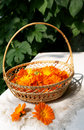 Bright fresh calendula flowers in a basket Royalty Free Stock Photo