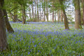 Bright fresh colorful Spring bluebell wood Stock Photo