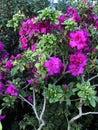 Bright fuschia colored azalea