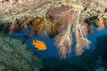 Bright Garibaldi Fish at Catalina Island Royalty Free Stock Photo
