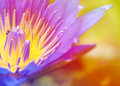 Bright glowing Close-up bloosom blue lotus Royalty Free Stock Photo
