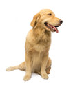 Bright golden retriever with a smile isolated in white background with clipping path Stock Photography