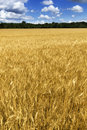 Bright golden yellow wheat field under deep blue s this in central kansas is nearly ready for harvest a rich sky background is Stock Photography
