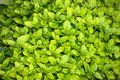 Bright green boxwood wallpaper background Royalty Free Stock Photo