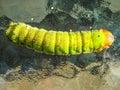 Bright green caterpillar Royalty Free Stock Photo