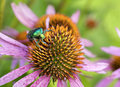 Bright green Chapfer on a flower of Echinacea