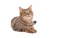Bright green eyed tabby cat on white background breautiful young looking up a Royalty Free Stock Photo