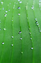 A bright green leaf of banana palm with veins and rain drops. Close up Royalty Free Stock Photo