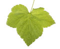Bright green leaf, isolated on a white background. Summer and fresh leaf from a currant tree. Royalty Free Stock Photo