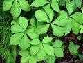 Bright green leaves of a Virginia creeper plant in a forest. Royalty Free Stock Photo