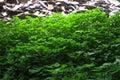 BRIGHT GREEN LINDENLEAF SAGE WEEDS WITH A PILE OF SHALE SLABS IN BACKGROUND
