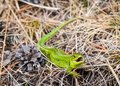 Bright green lizard defensively grins Royalty Free Stock Photo