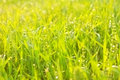 Bright green luscious grass with drops Stock Photo