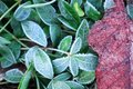 Bright green plant with frost in the cold January morning. Autumn leaf in the snow. Background with bright plants Royalty Free Stock Photo